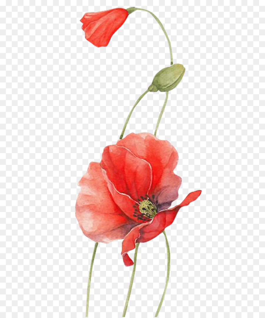 Poppy Watercolour Flowers Red Flower Png Download 8501080