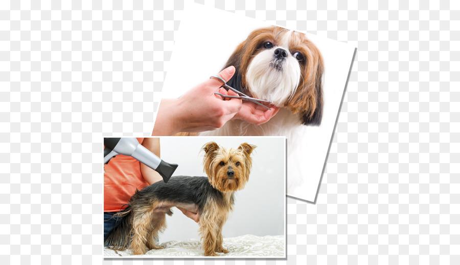Havaneser Hund Welpe Yorkshire Terrier Bichon Frise Dog Grooming