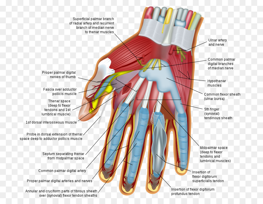 Wrist Hand Carpal Bones Human Body Finger Hand Png Download 770