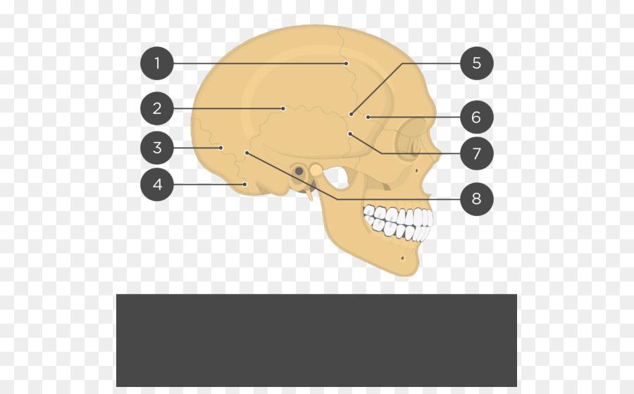 Cráneo hueso Parietal sutura Craneal Anatomía de la sutura Coronal ...