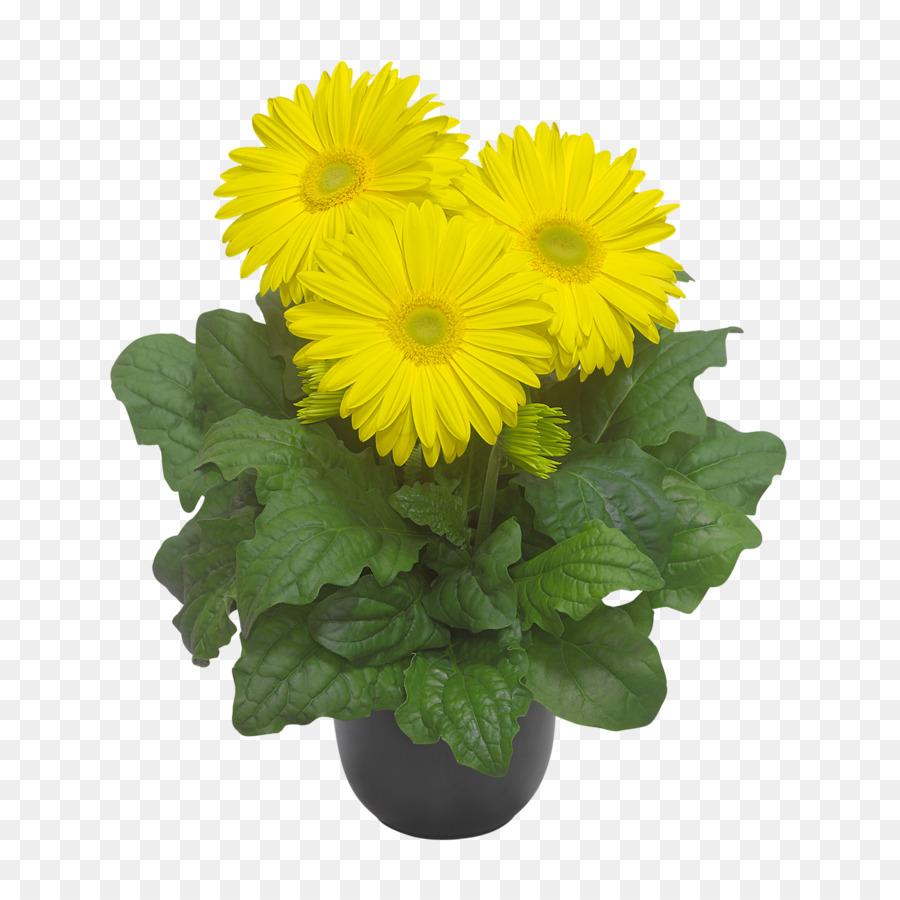Transvaal Daisy Chrysanthemum Cut Flowers Floristry Yellow Flower