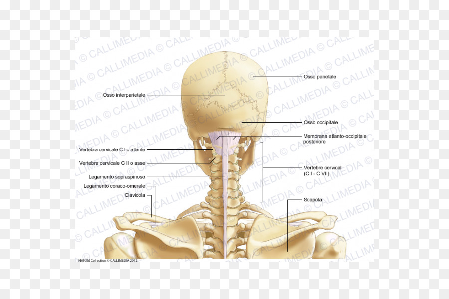 Head and neck anatomy Cervical vertebrae Bone - cervical vertebra ...