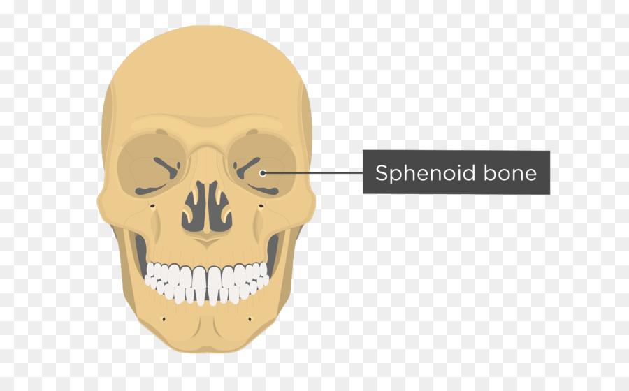 Vomer Ethmoid Bone Lacrimal Bone Anatomy Skull Png Download 745
