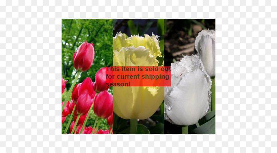 Lampada Fiore Tulipano : Tulip lampada fioristi petalo di fiore tulipano scaricare png