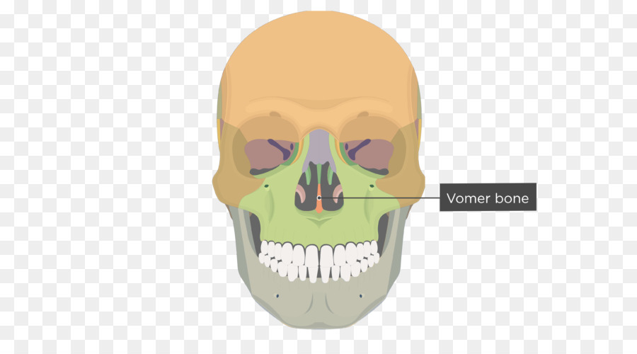 Vomer Lacrimal bone Human skeleton Anatomy - skull png download ...