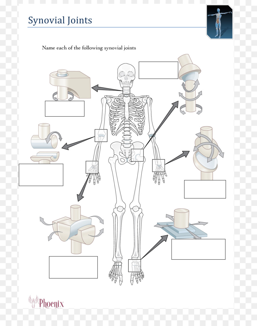 Human body Human skeleton Anatomy Synovial joint - Skeleton png ...