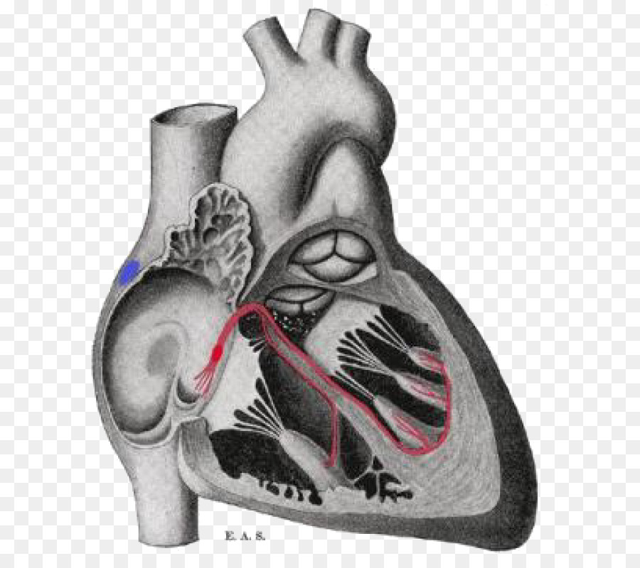Gray\'s Anatomy Bundle of His Electrophysiology Sinoatrial node ...