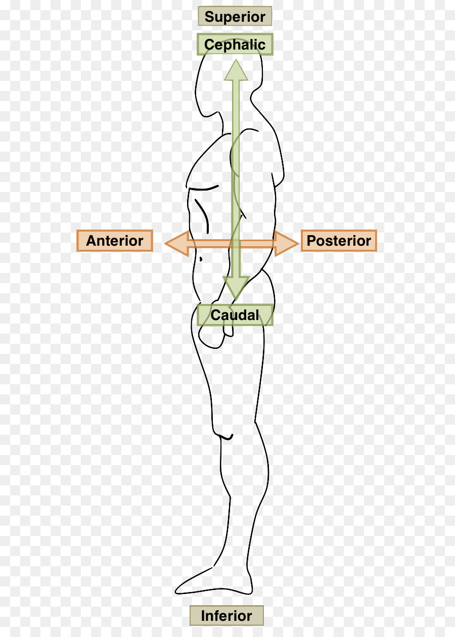 Human body Anatomy Ventraal Anatomical terms of location Coronal ...