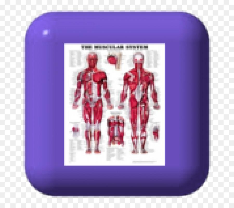 El Sistema Muscular Anatómica Gráfico Humanos de la anatomía del ...
