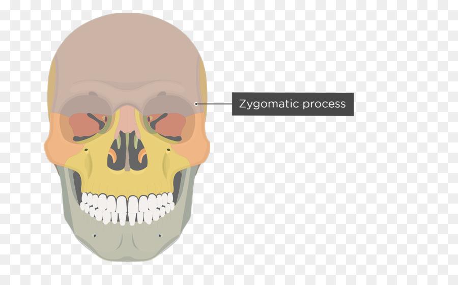 Vomer Lacrimal bone Human skeleton Ethmoid bone - skull png download ...