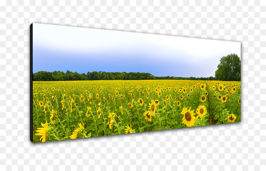 Canola oil grasses farm crop flower sunflower landscape png canola oil grasses farm crop flower sunflower landscape mightylinksfo