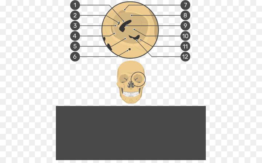 Skull Orbit Frontal Bone Anatomy Human Skeleton Skull Png Download