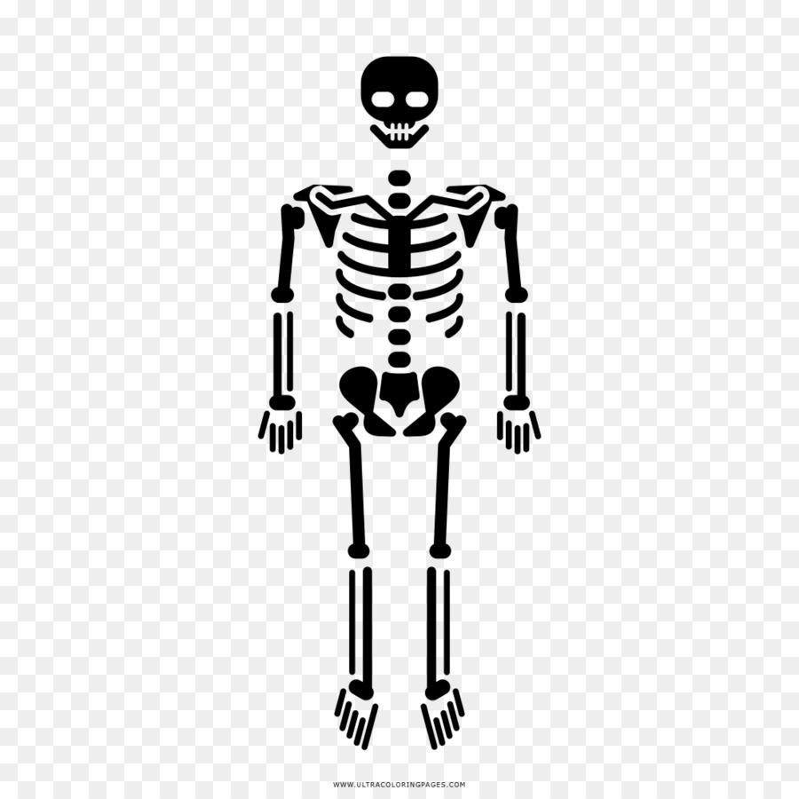 Esqueleto humano Bien el Homo sapiens Cráneo - Esqueleto png dibujo ...