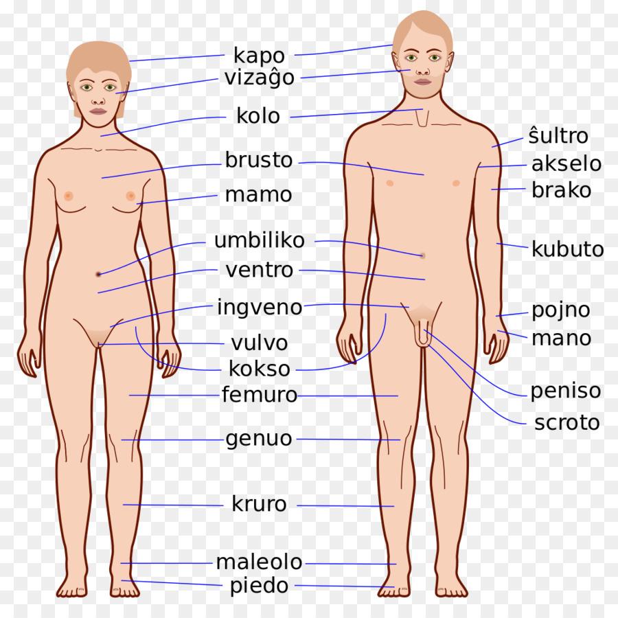 Finger Human body Homo sapiens Anatomy Physiology - Body Human png ...