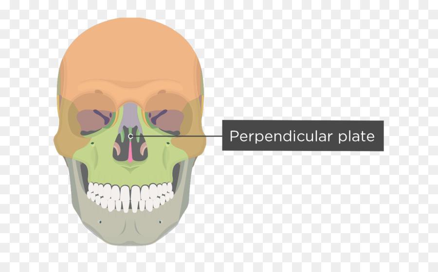 Vomer Bone Human Skeleton Nasal Concha Facial Skeleton Skull Bones