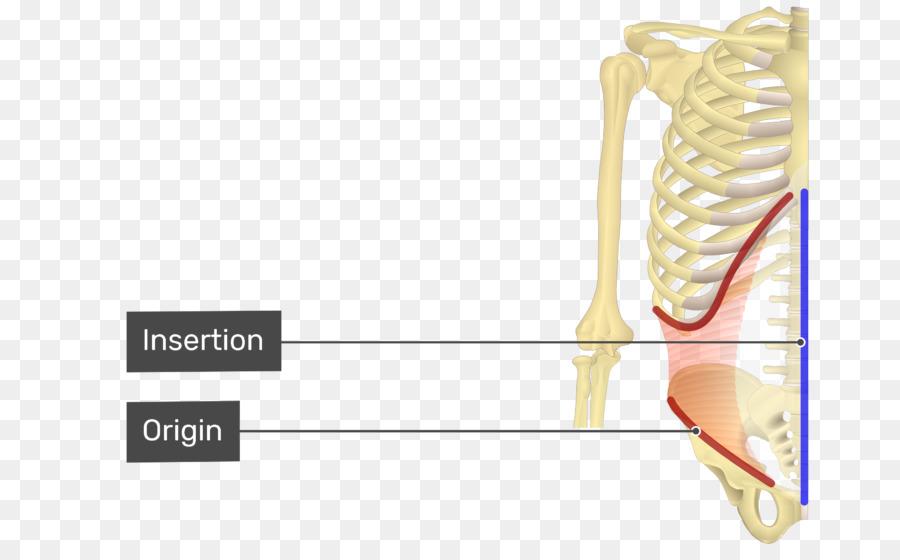Bauch Internen Schrägen Muskeln Abdominal External Oblique Muscle