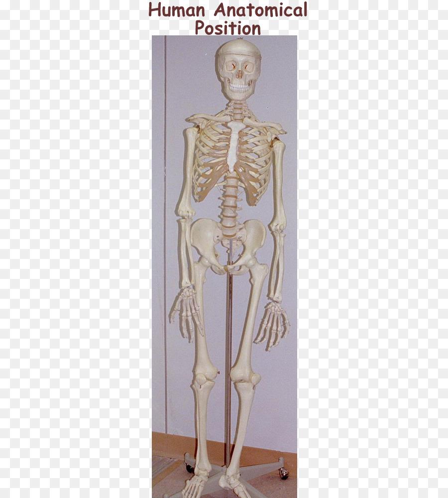 Shoulder Mannequin Homo Sapiens Skeleton Classical Sculpture