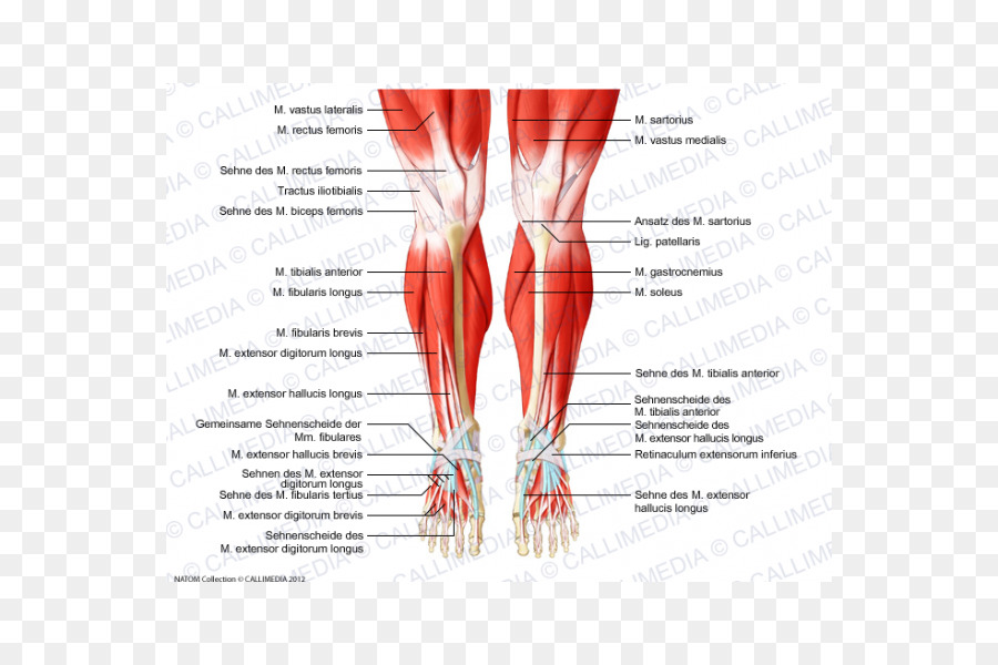 Knee Human anatomy Human body Muscular system - human skeletal ...