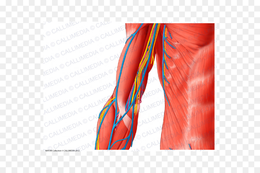 Arm Human body Muscle Blood vessel Shoulder - arm png download - 600 ...