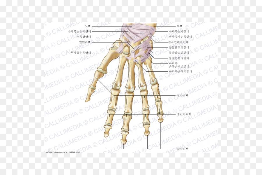 Anatomy Carpal bones Human skeleton Ligament - hand png download ...