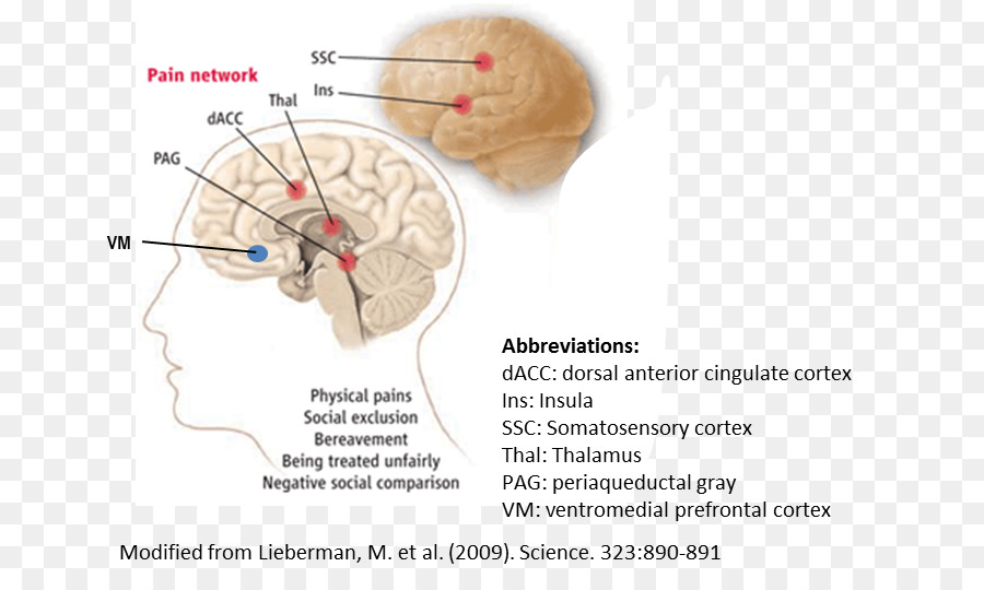Brain Anterior cingulate cortex Cingulate gyrus Cerebral cortex ...