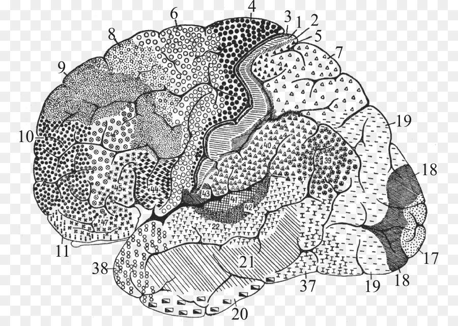 Brodmann area 25 Cerebral cortex Anatomy Brain - Brain png download ...