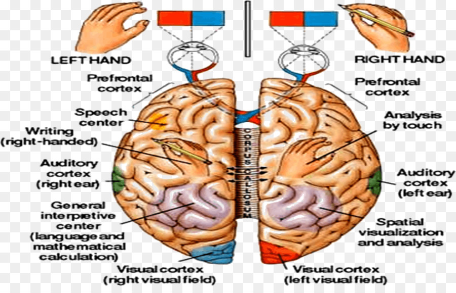 Human brain central nervous system physiology anatomy left and human brain central nervous system physiology anatomy left and right brain ccuart Gallery