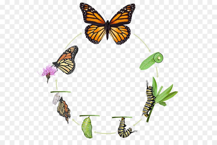 La mariposa monarca Insectos ciclo de vida Biológico Pupa - ciclo de ...