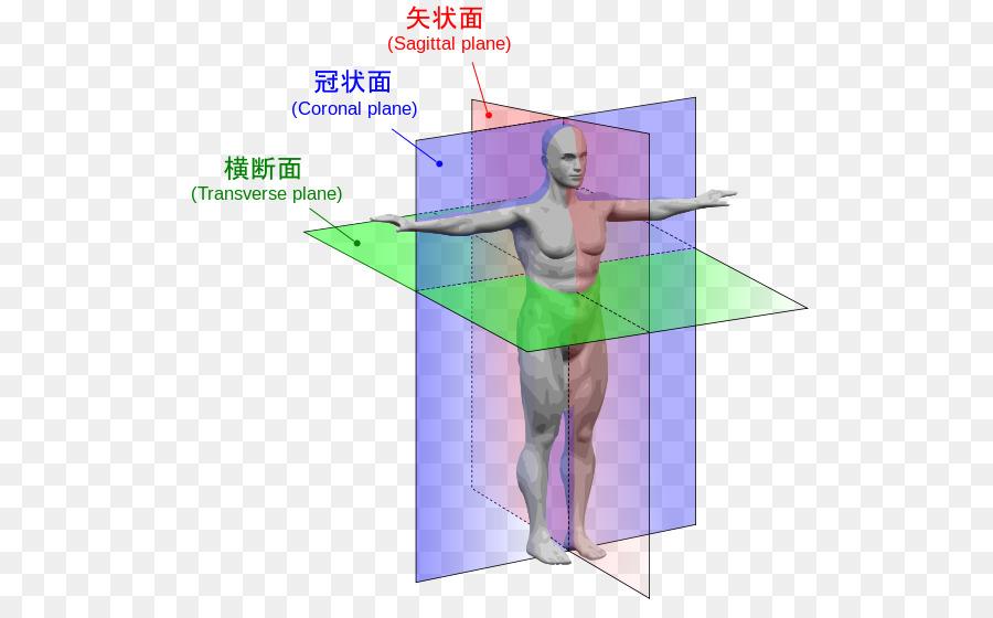 Anatomical plane Anatomy Transverse plane Human body Sagittal plane ...
