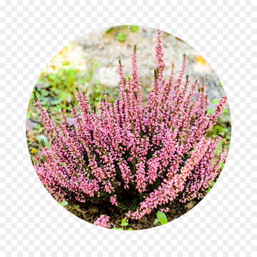Garden Shrub Flower Plants Heath Flower Png Download 11811181