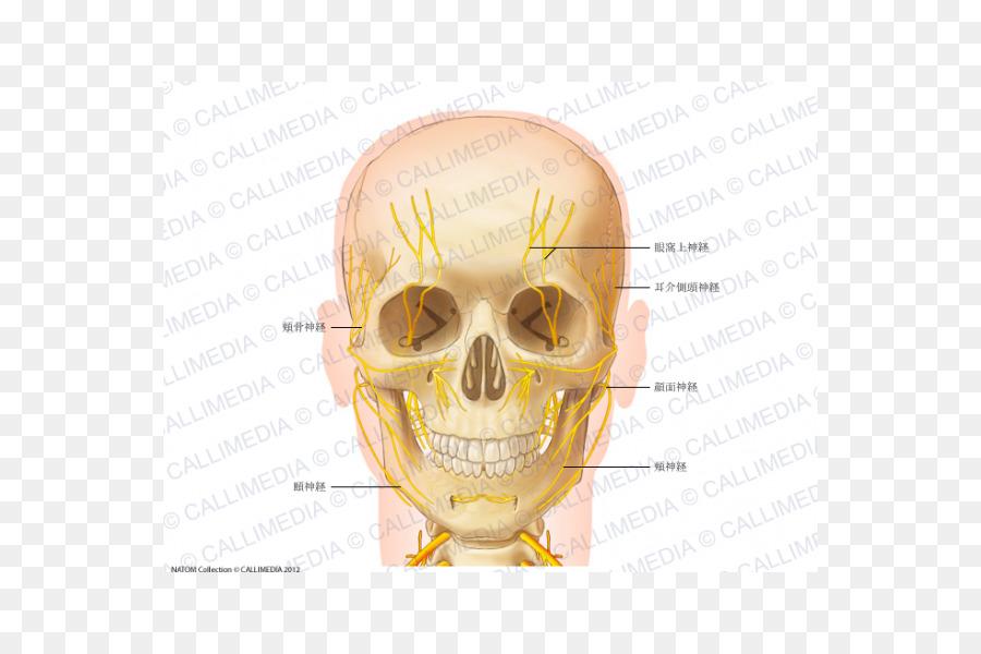 Kopf und Hals Anatomie der Menschlichen Körper Nerven Vordere ...