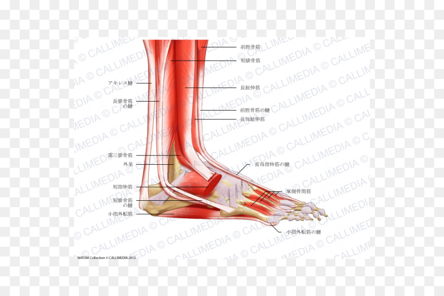 Foot Anatomy Muscular System Peroneus Longus Muscle Bone Foot