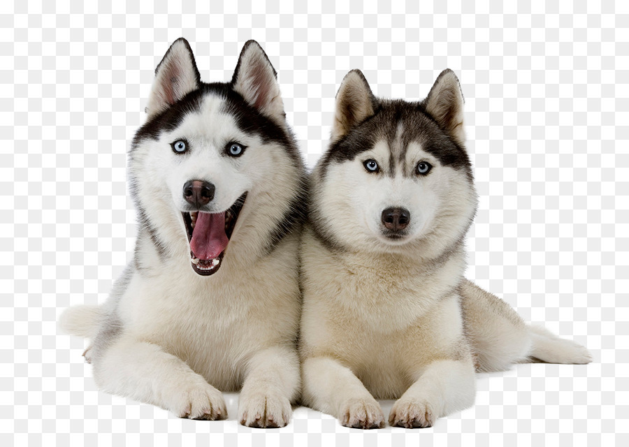 Miniature Siberian Husky Puppy Puppy Sitting Png Download 850