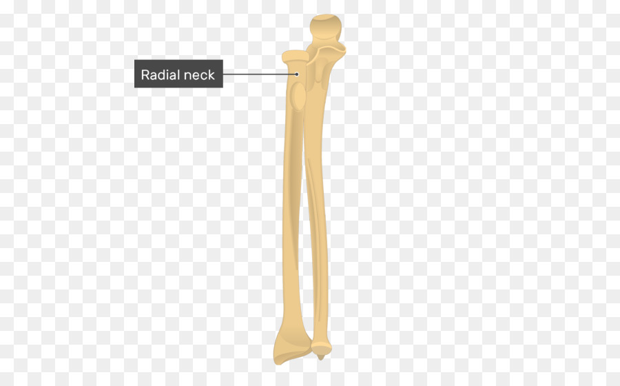 Ulnar styloid process Olecranon Radial styloid process Radius - bone ...