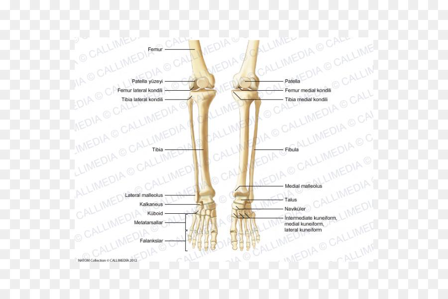 Pulgar Hueso Humano de la anatomía del esqueleto Humano - Esqueleto ...