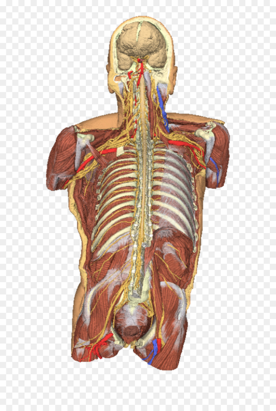Anatomy Human body Torso Dissection Shoulder - Human Body 3D png ...
