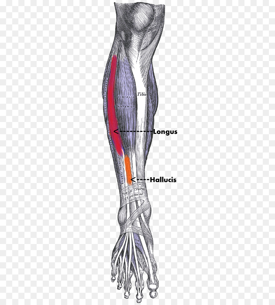Tibialis Anterior Muscle Tibialis Posterior Muscle Human Body