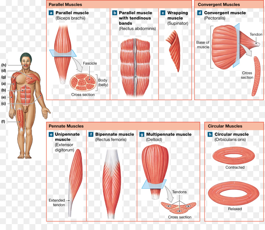 Muscle fascicle Anatomy Human body Pennate muscle - Anatomy Muscle ...