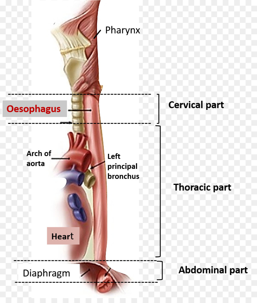 The Esophagus Human Body Human Anatomy Abdomen Anatomy Png