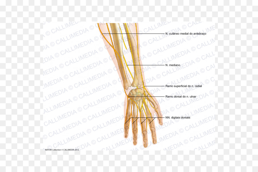 Finger Radial nerve Forearm Human anatomy - hand png download - 600 ...