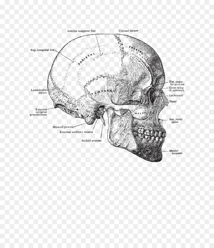 Skull Anatomy Human Body Human Head Torso Skull Png Download 768