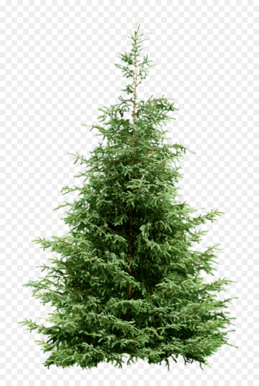 Nordmann fir Spruce Christmas tree Pine - christmas tree png ...
