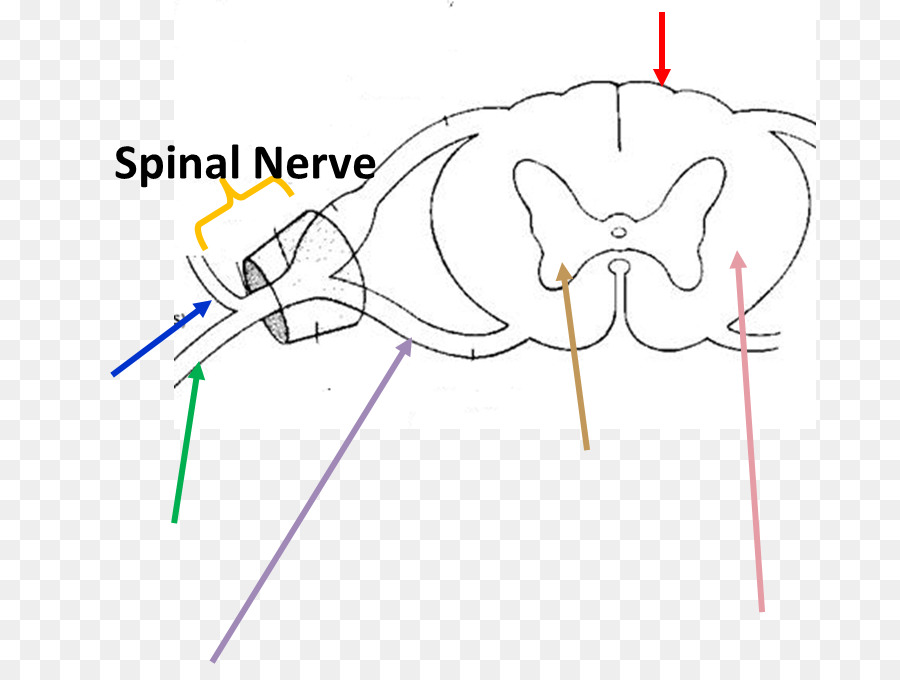Ventral Root Of Spinal Nerve Anatomy Dorsal Root Ganglion Spinal