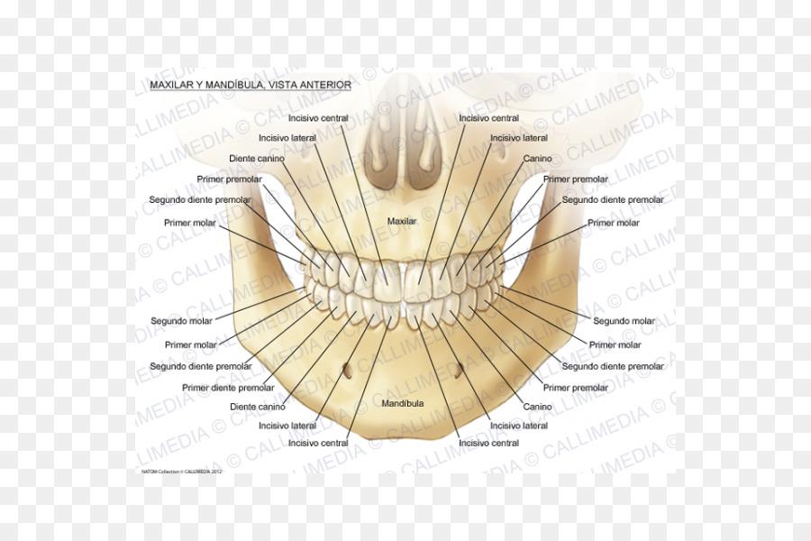 Maxilla Anatomy Mandible Mandibular Nerve Human Body Human Body 3d