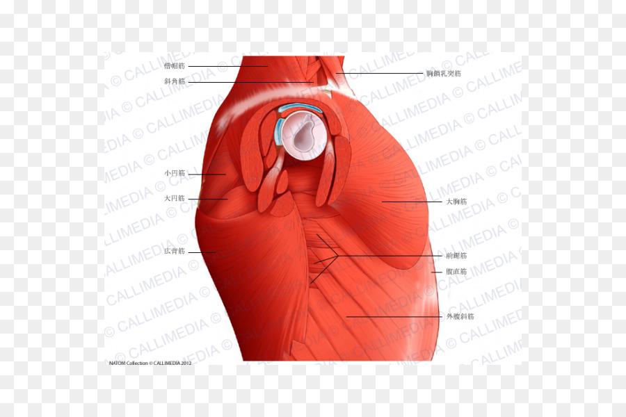 Anatomía del musculo Recto anterior del sistema Muscular en el ...
