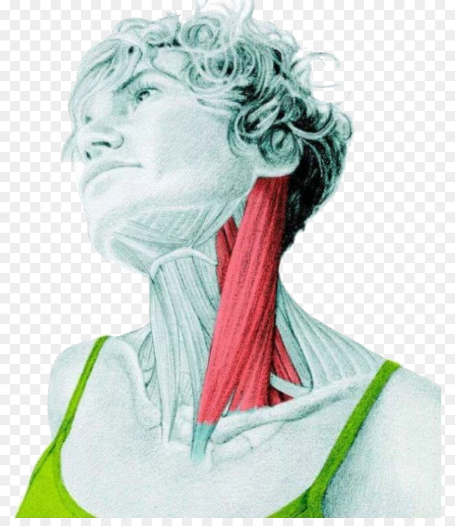 Sternocleidomastoid muscle Stretching Human body Neck - Latissimus ...