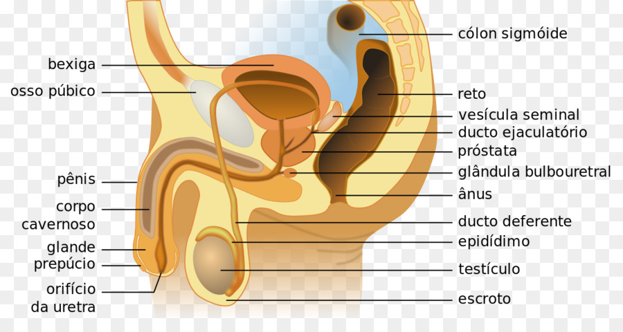 Female reproductive system Anatomy Excretory system - role of ...