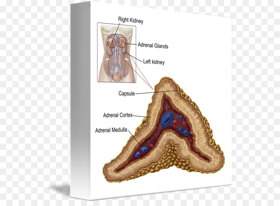 The Adrenal Cortex The Adrenal Gland Anatomy Others Png Download