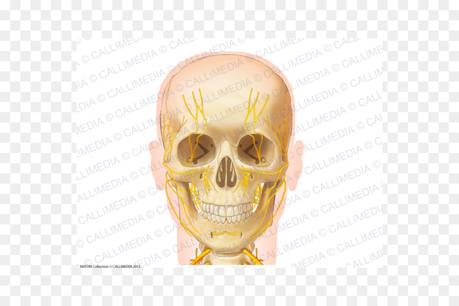 Skull Anatomy Nerve Zygomatic Bone Neck Skull Png Download 600