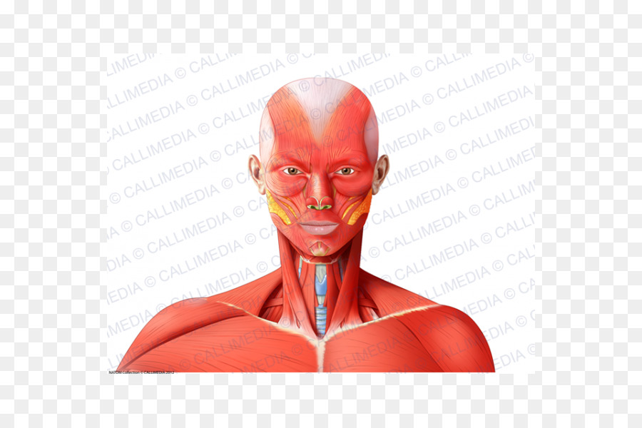 Nose Muscle Neck Head Anatomy - nose png download - 600*600 - Free ...